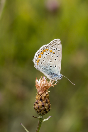polyommatus: Polyommatus icarus Common Blue butterfly from Lower Saxony, Germany, Europe