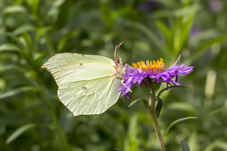 gonepteryx rhamni: Gonepteryx rhamni, Common Brimstone, Brimstone on Aster, Germany, Europe Stock Photo