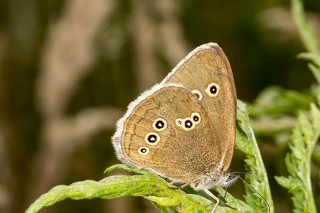 aphantopus: Aphantopus hyperantus, Ringlet butterfly from Lower Saxony, Germany, Europe
