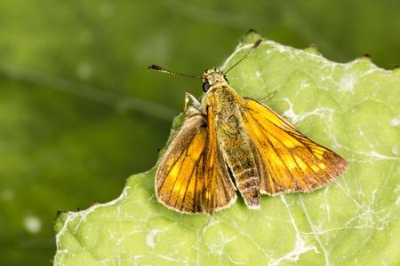 ochlodes: Ochlodes venatus Ochlodes Sylvanus, Large skipper butterfly from Lower Saxony, Germany, Europe