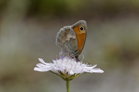 heath: Coenonympha Pamphilus, Small Heath Butterfly from Western Europe