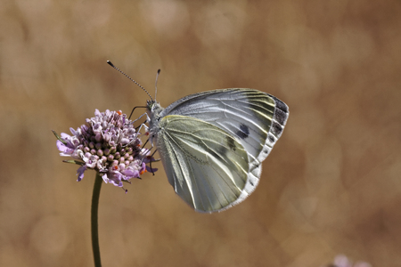 pieris: Pieris brassicae, Large Cabbage White, White Cabbage butterfly from Europe Stock Photo