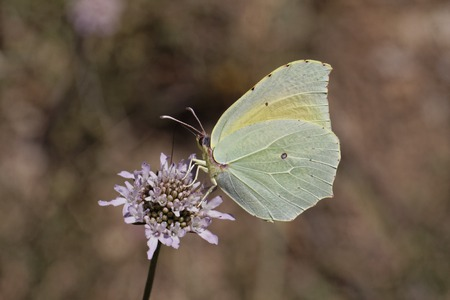 southern europe: Gonepteryx Cleopatra, Cleopatra butterfly female from Southern Europe Stock Photo