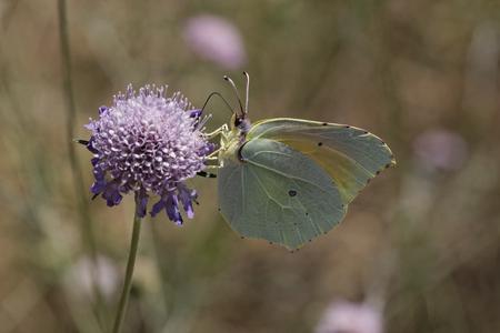 gonepteryx: Cleopatra butterfly Gonepteryx cleopatra from France, Southern Europe Stock Photo