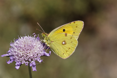 clouded: Colias crocea, Dark Clouded Yellow, Common Clouded Yellow, The Clouded Yellow butterfly from France, Western Europe