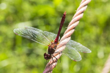 sympetrum: Sympetrum sanguineum, Ruddy Darter, Dragonfly from Germany, Europe