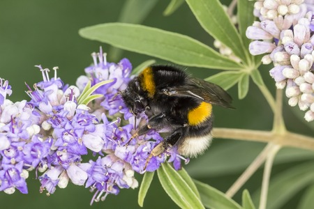 Bombus terrestris, Buff-tailed bumblebee, Large earth bumblebee on Vitex agnus castus, Chaste Tree, Chasteberry, Abrahams Balm, Monks pepper Banco de Imagens