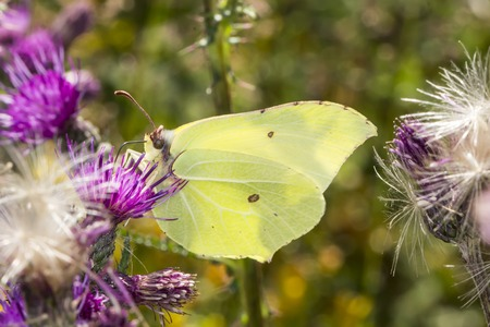 rhamni: Gonepteryx rhamni, Common Brimstone, Brimstone on thistle, Germany, Europe