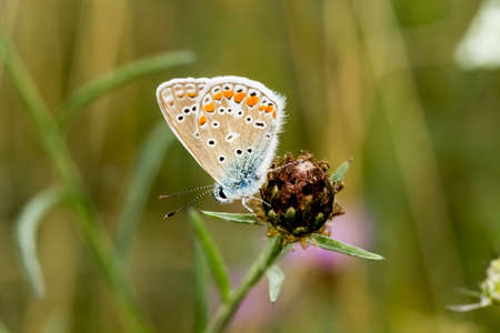 common blue: Polyommatus icarus Common Blue butterfly from Lower Saxony, Germany, Europe