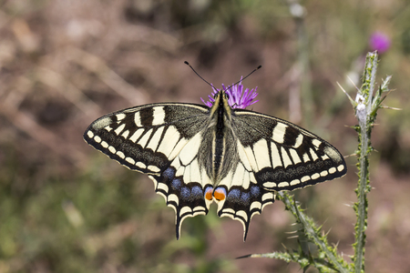machaon: Papilio machaon, Swallowtail butterfly from Italy, Europe