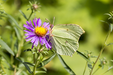 rhamni: Gonepteryx rhamni, Common Brimstone, Brimstone on Aster, Germany, Europe Stock Photo