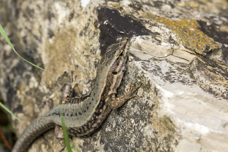 lizard: Common wall lizard Podarcis muralis from Germany, Europe