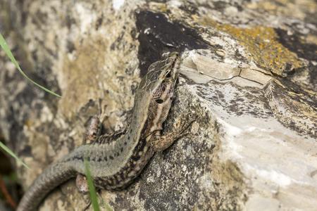 jaszczurka: Wspólna ściana jaszczurka jaszczurka murowa z Niemiec, Europy Zdjęcie Seryjne