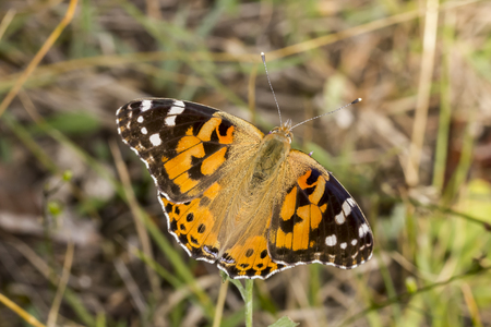 vanessa: Vanessa cardui, Painted Lady butterfly from Lower Saxony, Germany, Europe Stock Photo