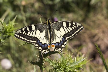 papilio: Papilio machaon, Swallowtail butterfly from Italy, Europe