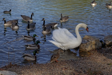 branta: Canada goose Branta canadensis and Mute Swan Cygnus olor at a pond in Germany, Europe Stock Photo