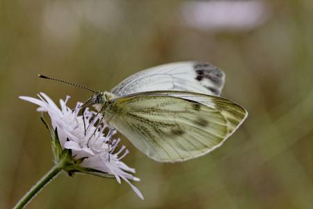brassicae: Pieris brassicae, Large White or Cabbage Butterfly Cabbage White butterfly from Europe