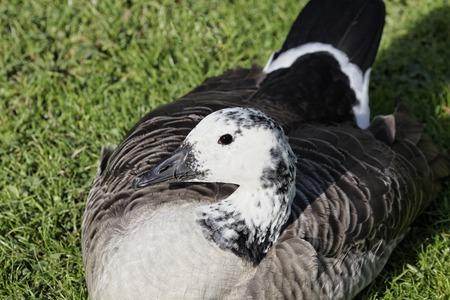 branta: Canada goose, Branta canadensis on a meadow in Germany