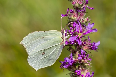 gonepteryx rhamni: Gonepteryx rhamni, Common Brimstone, Brimstone on Purple loosestrife Lythrum salicaria, Germany, Europe Stock Photo