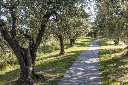 broadleaved tree: Anchiano, District of Vinci, landscape with olive trees, Tuscany, Italy, Europe