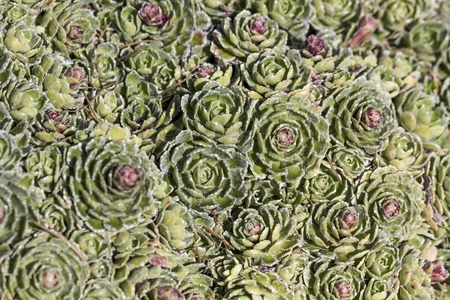 White mountain saxifrage Saxifraga paniculata Alpine saxifrage, saxifrage or Encrusted Silver saxifrage is a alpine flower