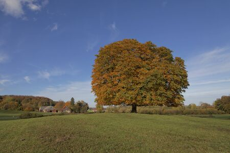 horse chestnut': Horse chestnut tree Aesculus hippocastanum conker tree in autumn, Lengerich, North Rhine-Westphalia, Germany, Europe