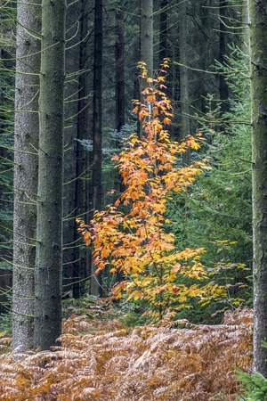 acer: Maple leaves in autumn, Lower Saxony, Germany Stock Photo
