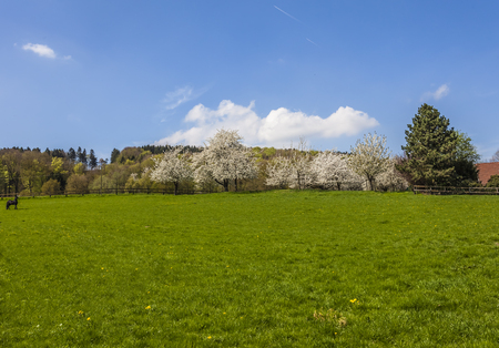 broadleaved tree: Blossoming cherry trees in Hagen, Osnabrck country, Germany