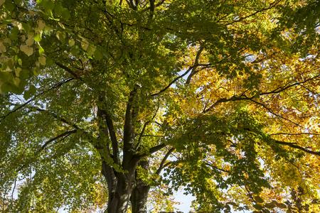 broadleaved tree: Beech tree in autumn Fagus, Germany, Europe Stock Photo