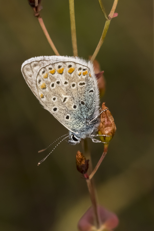 icarus: Polyommatus icarus Common Blue butterfly from Lower Saxony, Germany Stock Photo
