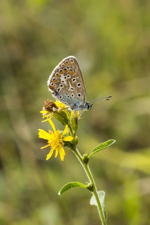 polyommatus icarus: Common Blue butterfly Polyommatus icarus from Lower Saxony, Germany