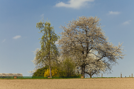 broad leaved tree: Blossoming cherry tree in spring, North Rhine-Westphalia, Germany, Europe Stock Photo