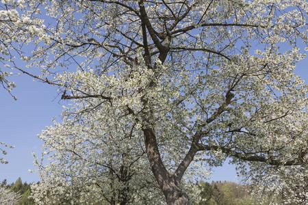 broad leaved tree: Apple tree in spring, North Rhine-Westphalia, Germany, Europe