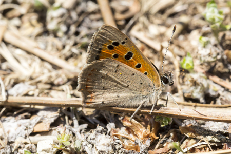 lycaena: Lycaena phlaeas, Small Copper, American Copper, Common Copper butterfly from Tuscany, Italy, Europe