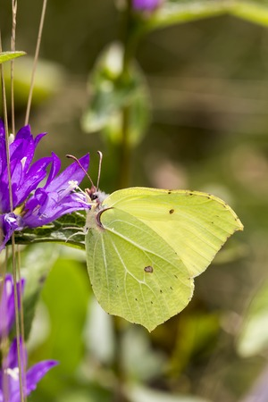 rhamni: Gonepteryx rhamni, Common Brimstone, Brimstone on clustered bellflower Campanula glometera, Danes blood, Germany, Europe