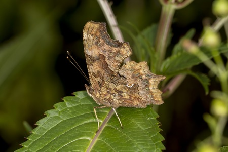 nymphalis: Nymphalis c-album, Polygonia c-album, Comma butterfly from Germany, Europe