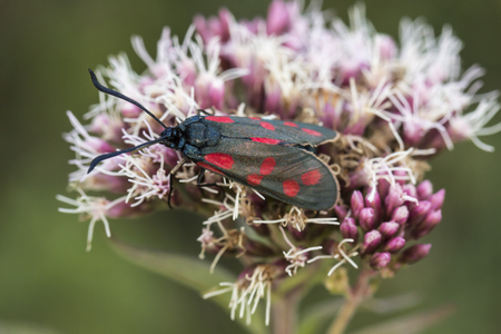 zygaena: Zygaena filipendulae, Six-spot Burnet butterfly from Lower Saxony, Germany