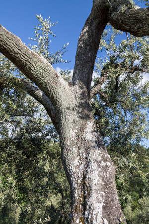 broadleaved tree: Olive tree near Anchiano, district of Vinci, Tuscany, Italy, Europe Stock Photo