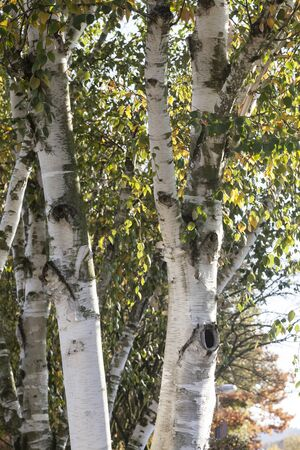 european white birch: Birch tree (Betula) in autumn, Lower Saxony, Germany
