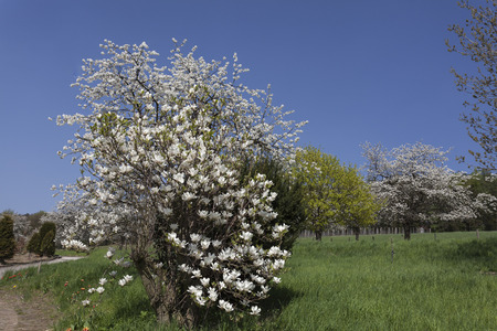 broadleaved tree: Blossoming cherry tree and magnolia tree in Lower Saxony, Germany, Europe