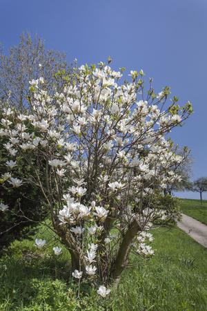 broadleaved tree: Magnolia tree in spring, Lower Saxony, Germany