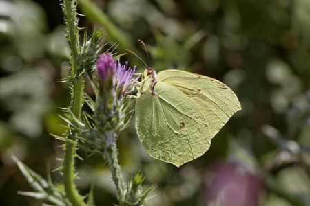 southern europe: Gonepteryx cleopatra, Cleopatra, Cleopatra butterfly from Corsica, France, Southern Europe Stock Photo