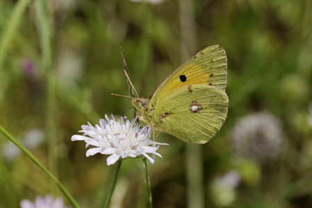 clouded: Colias crocea, Dark Clouded Yellow, Common Clouded Yellow, european butterfly from Corsica, France, Europe