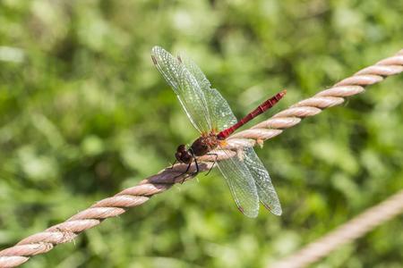 sympetrum: Sympetrum sanguineum, Ruddy darter dragonfly from Germany