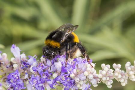 bombus: Bombus terrestris, Buff-tailed bumblebee, Large earth bumblebee on Vitex agnus castus, Chaste tree, Chasteberry, Abrahams Balm, Monks pepper Stock Photo