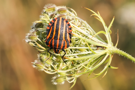 lineatum: Graphosoma lineatum, Shield bug from Lower Saxony, Germany Stock Photo