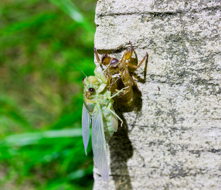 Photos of insects moulting on rocks.
