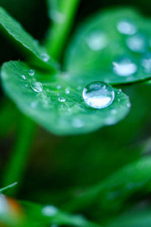 Close-up of drops on clover.