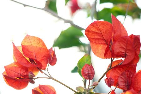 back lighting: back lighting - red flowers