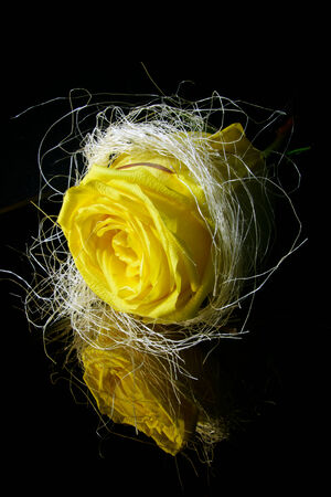 one yellow rose on a black background photo